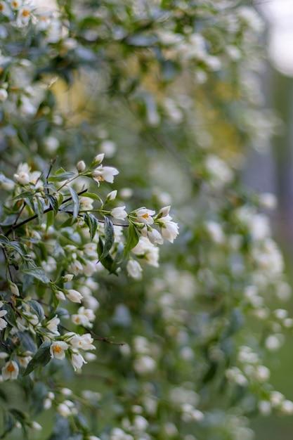 Jasminblütenblüte. grüner weißer unschärfehintergrund. Premium Fotos