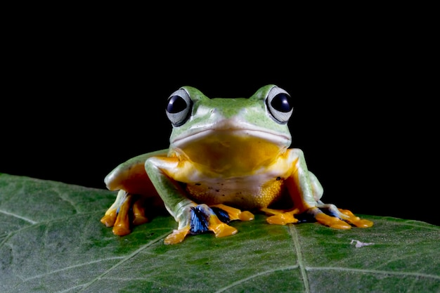 Javan laubfrosch nahaufnahme auf grünen blättern auf schwarzem hintergrund Premium Fotos