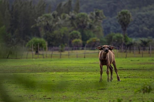 Jüngerer wasserbüffel auf dem landwirtschaftsgebiet thailand aufgeregt Premium Fotos