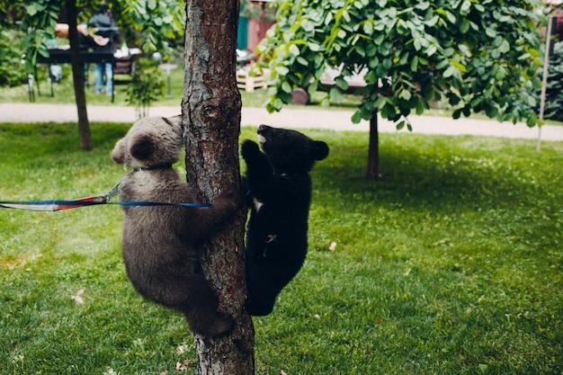 Junge braun- und himalaya-bärenjunges spielen Premium Fotos
