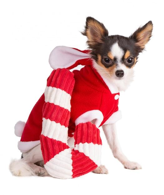 Junge chihuahua kleideten im rot während des weihnachten an Premium Fotos