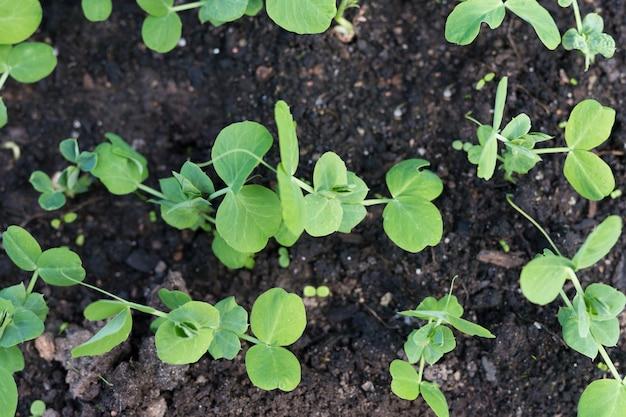Junge erbsenpflanzen im vorfrühlingsgarten. Premium Fotos