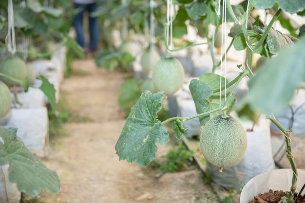 Junge grüne melone oder kantalupe, die im gewächshaus wachsen Kostenlose Fotos