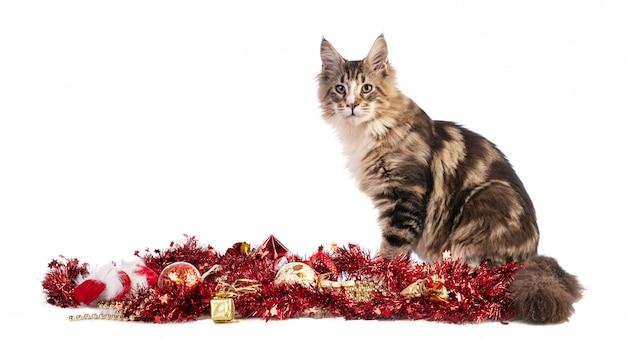 Junge maine coont weihnachten mit girlanden Premium Fotos