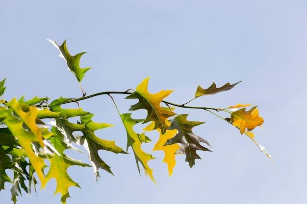 Junge mehrfarbige und grüne blätter einer eiche in einer frühlingssaison. baumzweige gegen den blauen himmel. nahansicht Premium Fotos