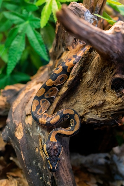 Junge python auf baum im dschungel. große gefährliche schlange. fauna der natur. Premium Fotos