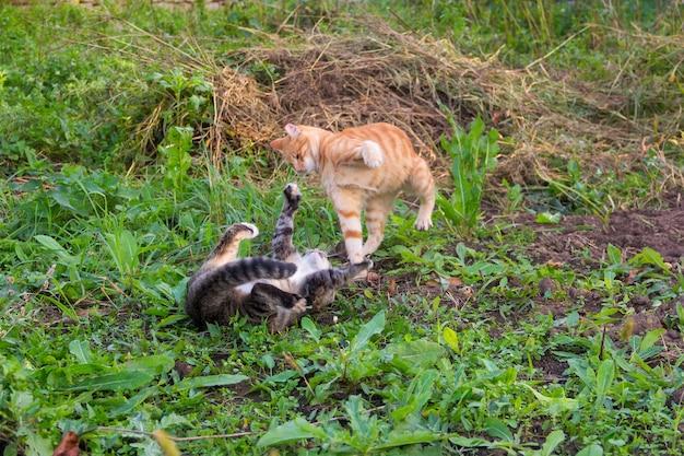 Junge rote katze schlägt die graue katze, die aus den grund liegt Premium Fotos