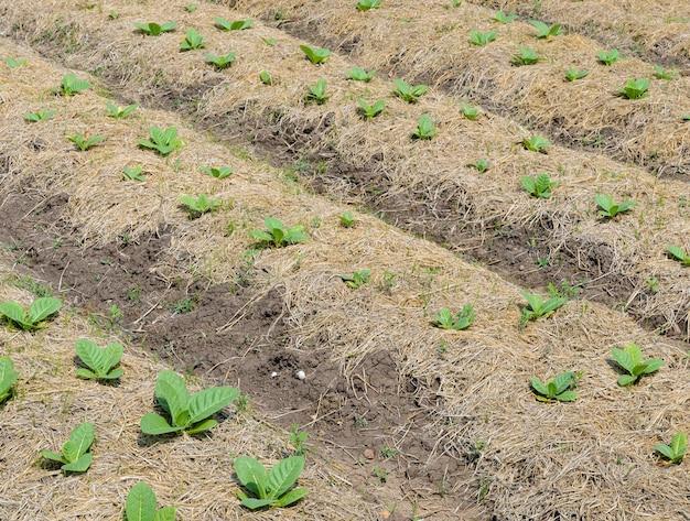 Junge tabakpflanze Premium Fotos