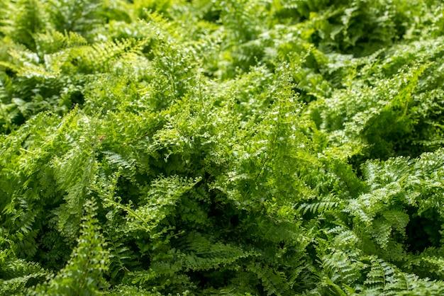 Junger grüner farnhintergrund Premium Fotos