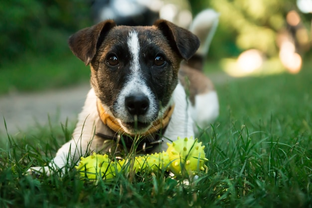 Junger hund, jack rusel will draußen spielen Kostenlose Fotos