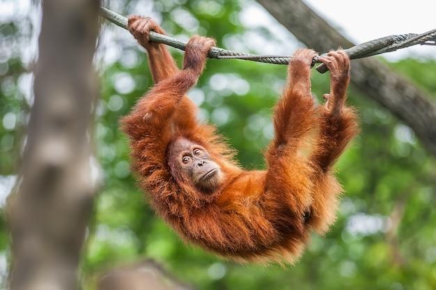Junger orang-utan, der auf einem seil schwingt Premium Fotos
