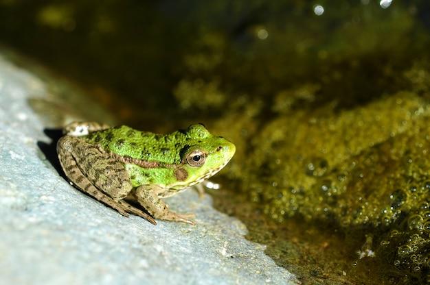Junger und grüner seefrosch Premium Fotos