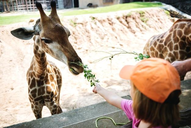 Junges kaukasisches mädchen, welches die giraffe am zoo speist Kostenlose Fotos