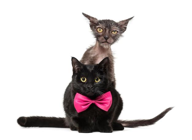 Kätzchen lykoi katze, auch werwolfkatze genannt, die hinter schwarzer katze in die kamera schaut Premium Fotos