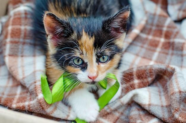 Kätzchen mit drei farben mit einem grünen band in einer pappschachtel draußen Premium Fotos