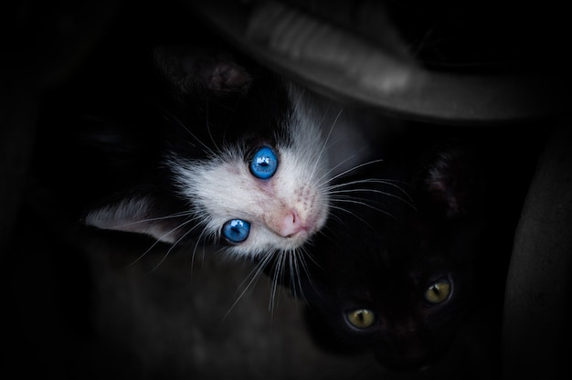 Kätzchen mit schönen blauen augen Premium Fotos