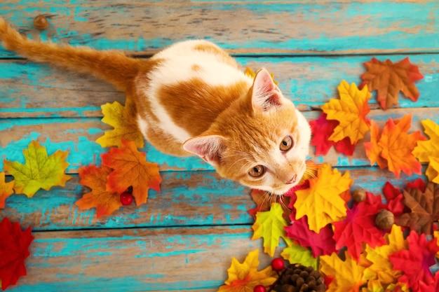 Kätzchen schauen oben und sitzen auf ahornblättern im herbst Premium Fotos
