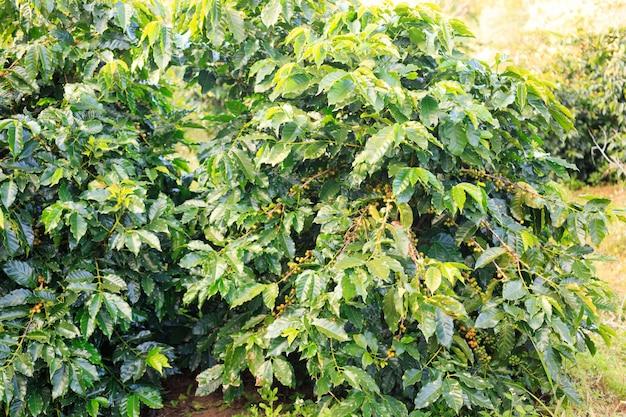 Kaffeeplantage Premium Fotos