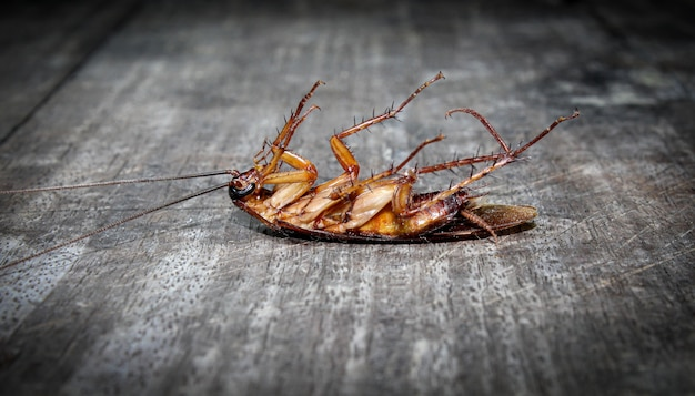 Kakerlaken liegen tot auf holzboden Premium Fotos