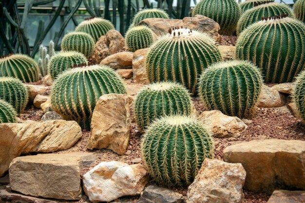 Kaktus im sand mit felsen Premium Fotos