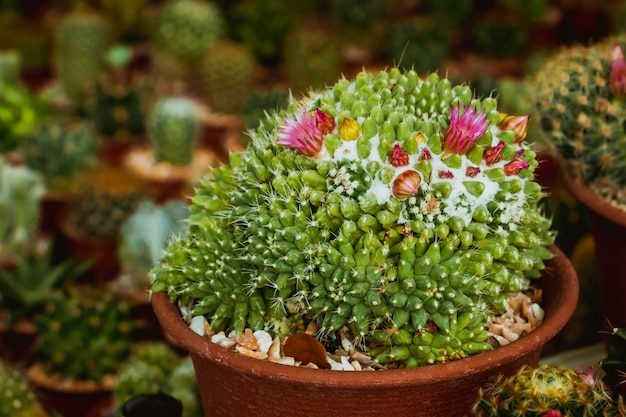 Kaktus und seine rosafarbene blume im garten. Premium Fotos