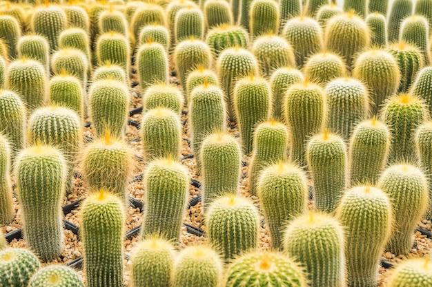 Kaktus viele varianten im topf zum anpflanzen in reihen angeordnet auswählen und weicher fokus. Premium Fotos