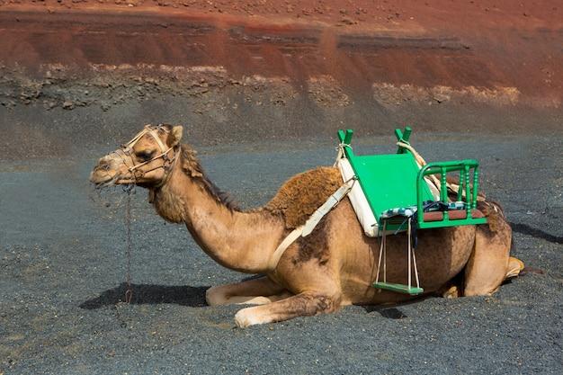 Kamel auf lanzarote in den timanfaya feuerbergen Premium Fotos