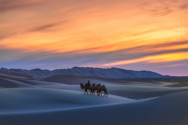 Kamel, das die sanddünen auf sonnenaufgang, gobi-wüste mongolei durchläuft. Premium Fotos