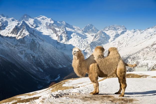 Kamel in den bergen Premium Fotos