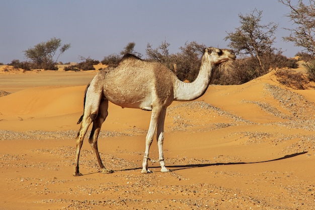 Kamel in der sahara-wüste im sudan, afrika Premium Fotos