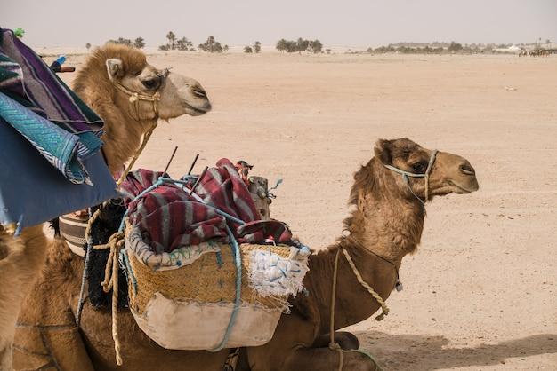 Kamele, die darauf warten, in die wüstensahara geladen zu werden Premium Fotos