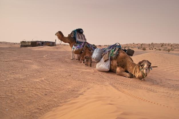 Kamele in der sahara Premium Fotos