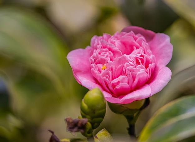 Kamelienblume mit morgenlicht Premium Fotos