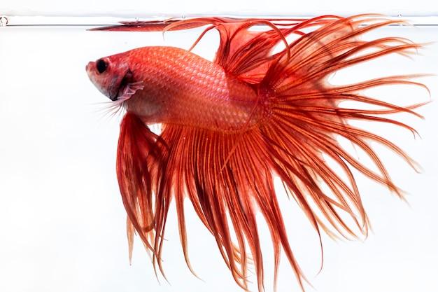 Kampffisch (betta splendens) fisch mit einem schönen Premium Fotos