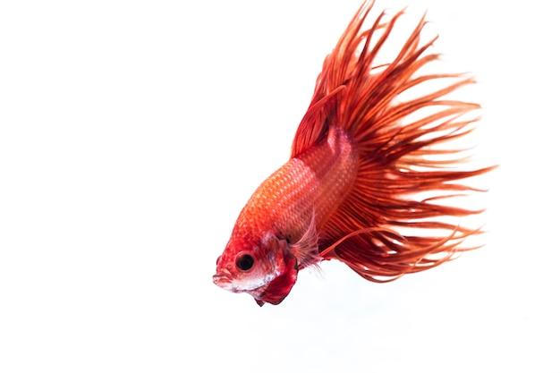Kampffische (betta splendens) Premium Fotos