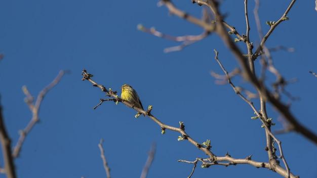 Kanarienvogel thront auf den zweigen eines baumes mit dem blauen himmel im hintergrund Premium Fotos