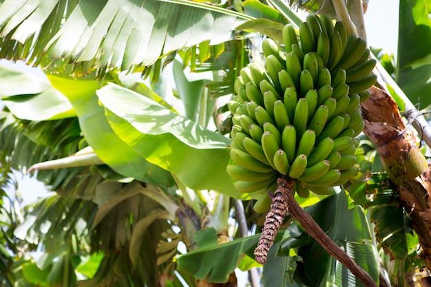 Kanarische bananenplantage platano in la palma Premium Fotos