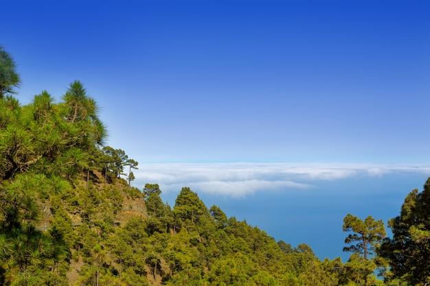 Kanarische kiefern la palma in der caldera de taburiente Premium Fotos