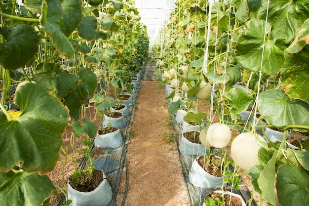 Kantalupenmelonen, die in einem gewächshaus wachsen Premium Fotos