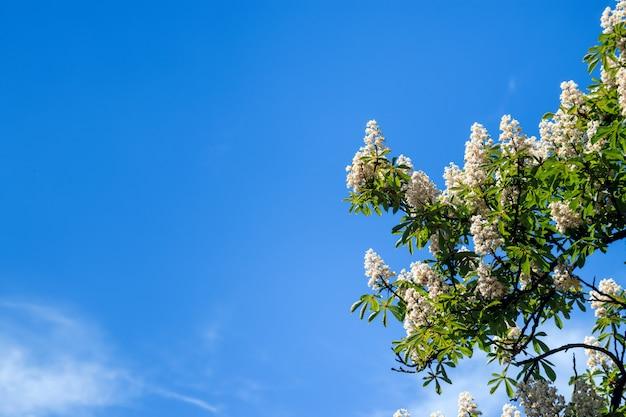 Kastanienbaum mit blühendem frühling blüht gegen blauen himmel, saisonblumenhintergrund Premium Fotos