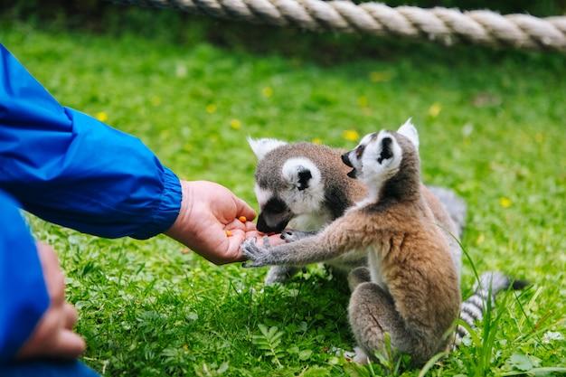 Katta, der aus einer personenhand heraus isst. ein volk füttert die kattas. lemur catta. schöne graue und weiße makis Premium Fotos