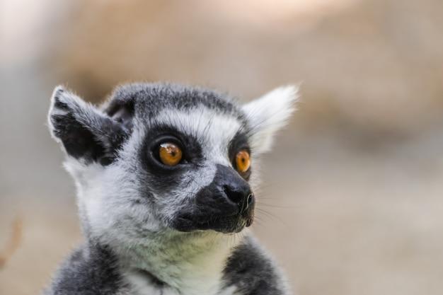 Katta (lemur catta) Premium Fotos
