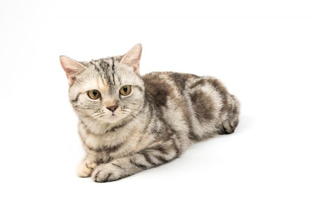 Katze auf weißem hintergrund Premium Fotos