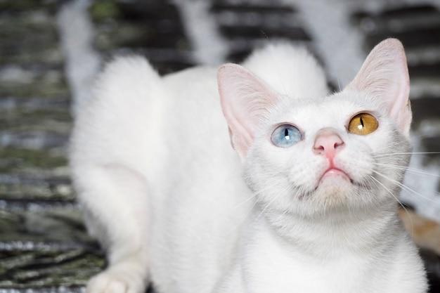 Katze mit 2 verschiedenen augenfarben tapetenhintergrund Premium Fotos