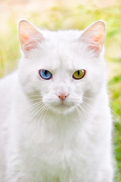 Katze mit verschiedenen überraschungen farbiges augenporträt Premium Fotos