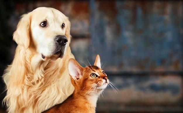 Katze und hund, abyssinische katze, golden retriever zusammen auf rostiger bunter, trauriger besorgter stimmung. Premium Fotos