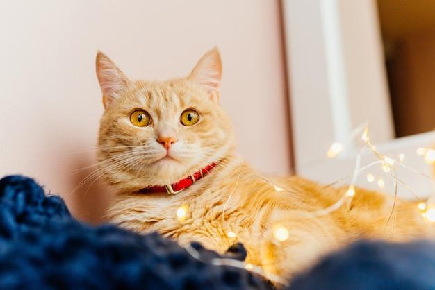 Katzen- und weihnachtslichter. nette ingwerkatze, die nahe dem fenster und dem spiel mit lichtern liegt. Kostenlose Fotos