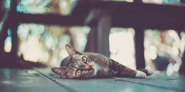Katzenmiezekatze, die den bart zuverlässig schaut Premium Fotos