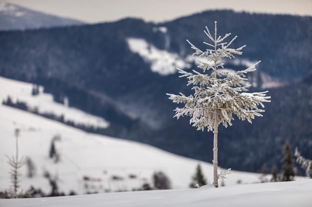 Kiefer alleine auf gebirgsschneebedeckter steigung Premium Fotos