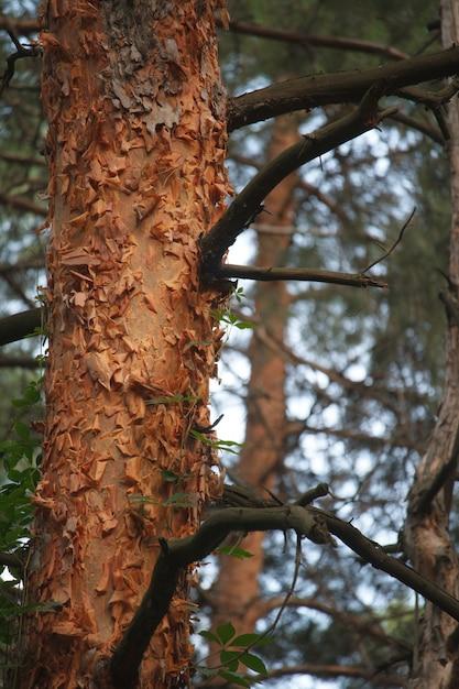 Kiefernwald mit verzerrten alten stämmen, die mit wilden trauben verschlungen sind Premium Fotos